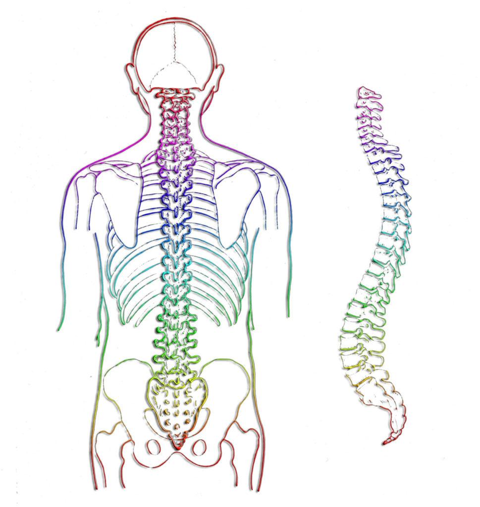 colonne vertébrale courbures