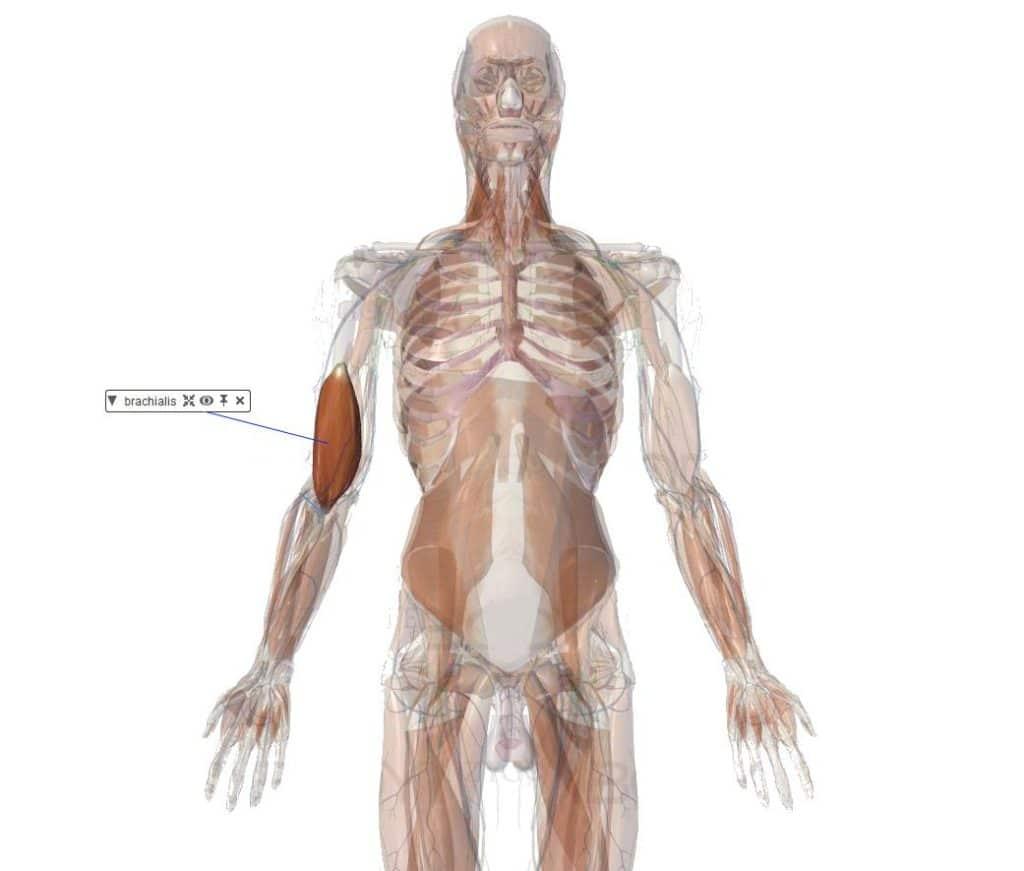 muscle brachial flexion coude anatomie important puissant