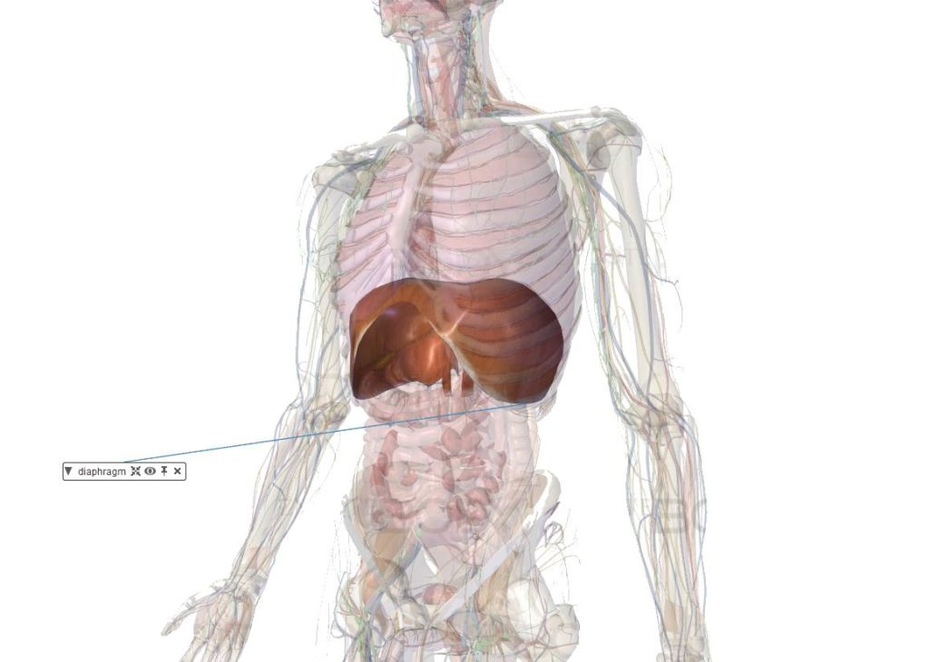 diaphragme muscle anatomie renforcer important respiration