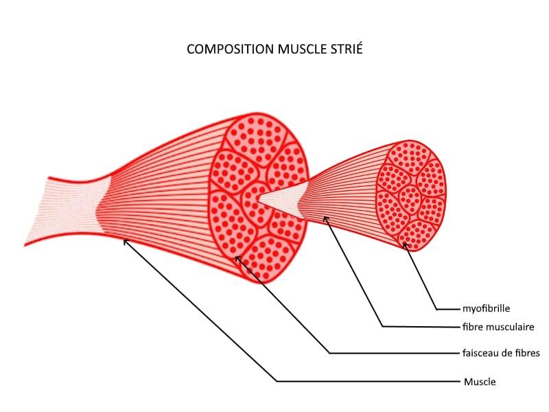 muscle strié squelettique fibre musculaire myofibrille schéma