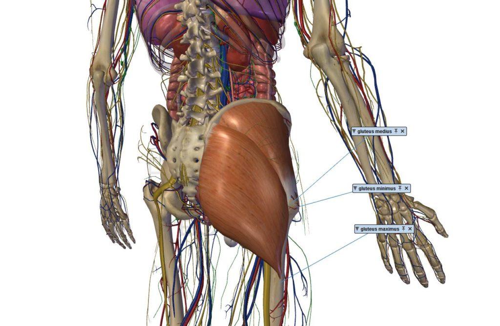 muscles fessiers anatomie renforcer moyen petit fessier