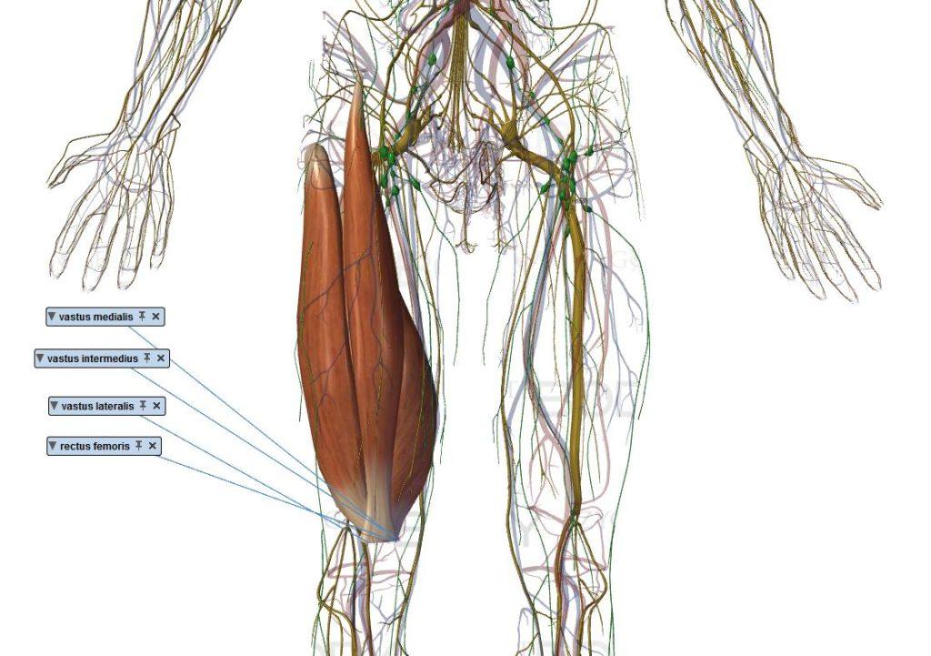 quadriceps muscle vaste médial  latéral intermédiaire droit fémoral renforcement cuisse
