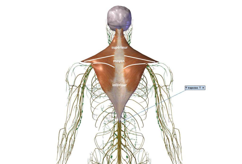 muscle trapèze trois faisceaux supérieur moyen inférieur dos renforcer important