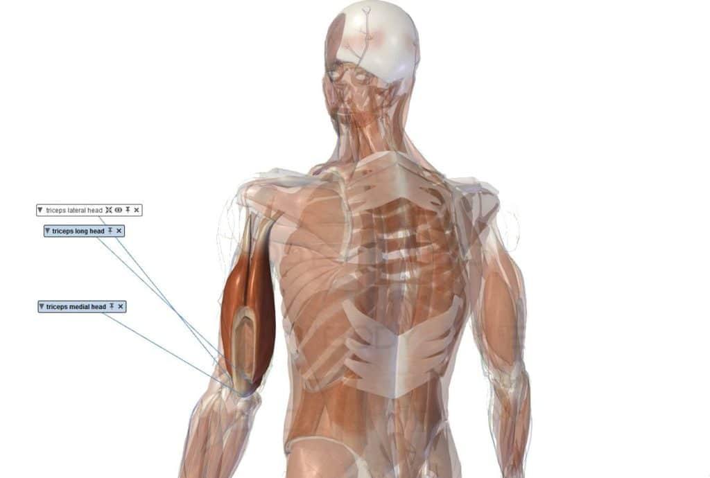 muscle triceps brachial anatomie important renforcer vue postérieure 3 portions