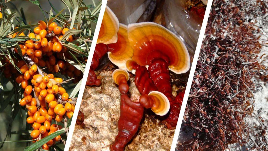 3 sources de polysaccharides : anti-inflammatoires naturels puissants dont la baie d'argousier, les algues brunes et ganoderme luisant