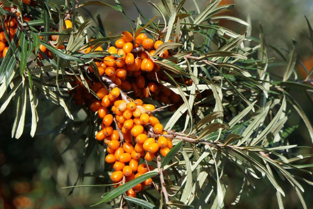 baies d'argousier sur un arbre, dotées de vertus anti-inflammatoires puissantes grâces à ses polysaccharides