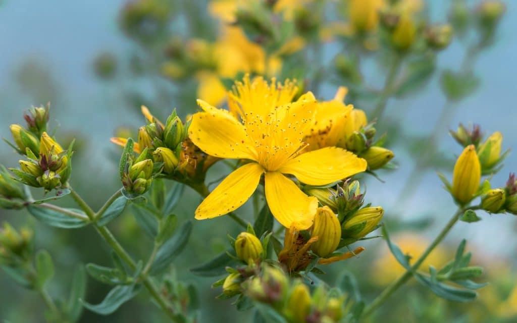 fleur de millepertuis doit macérer dans de l'huile d'olive pour donner l'huile végétale de millepertuis