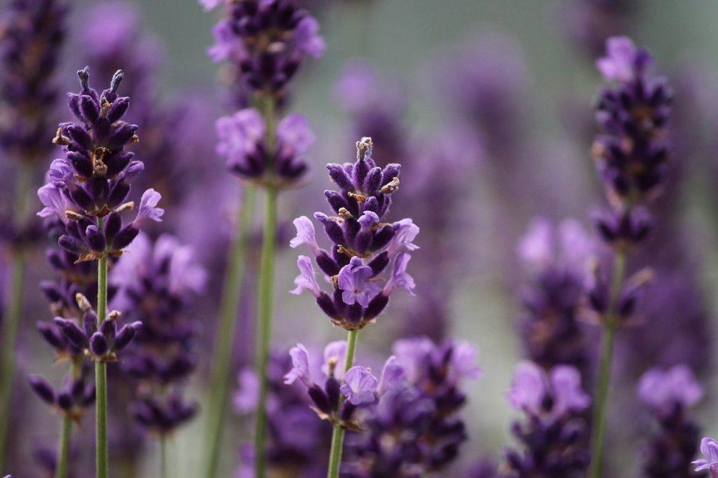 huile essentielle de lavandin super anti inflammatoire et apaisante