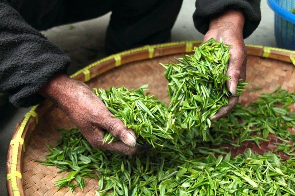 thé vert catéchines aux bienfaits stoppant la fonte musculaire