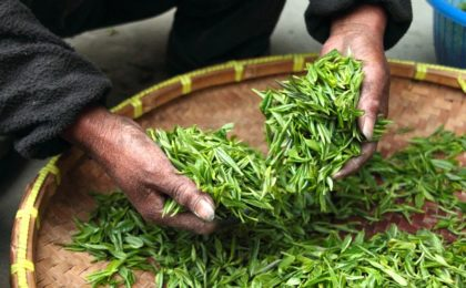 thé vert mains benifuuki bienfaits